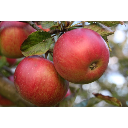 Pommes carton 5 kg